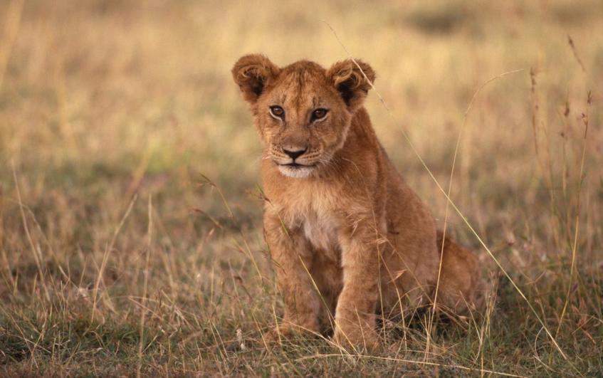 lion cub львенок