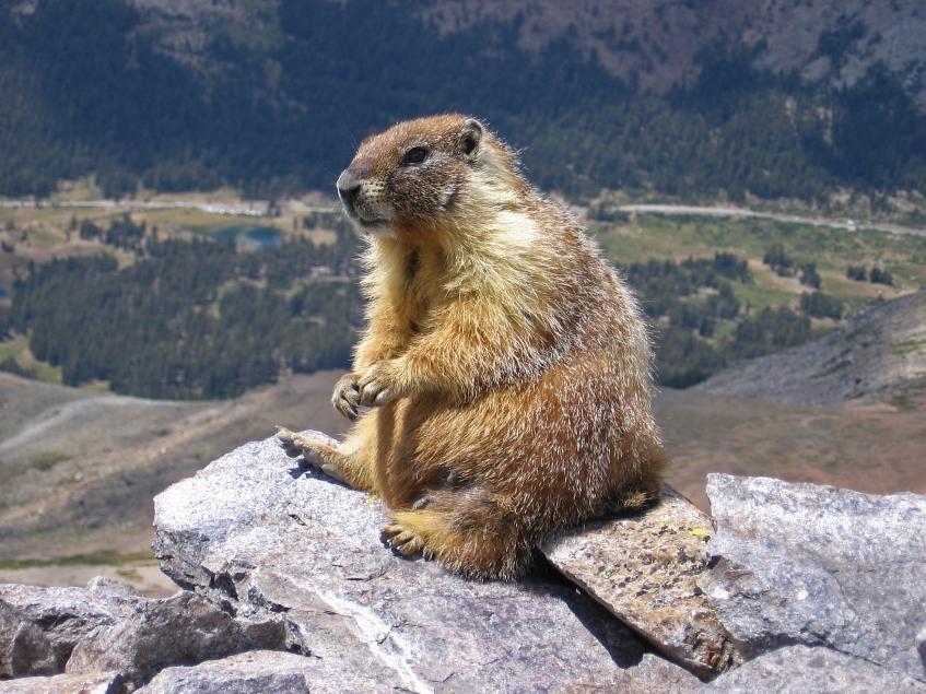 marmot сурок