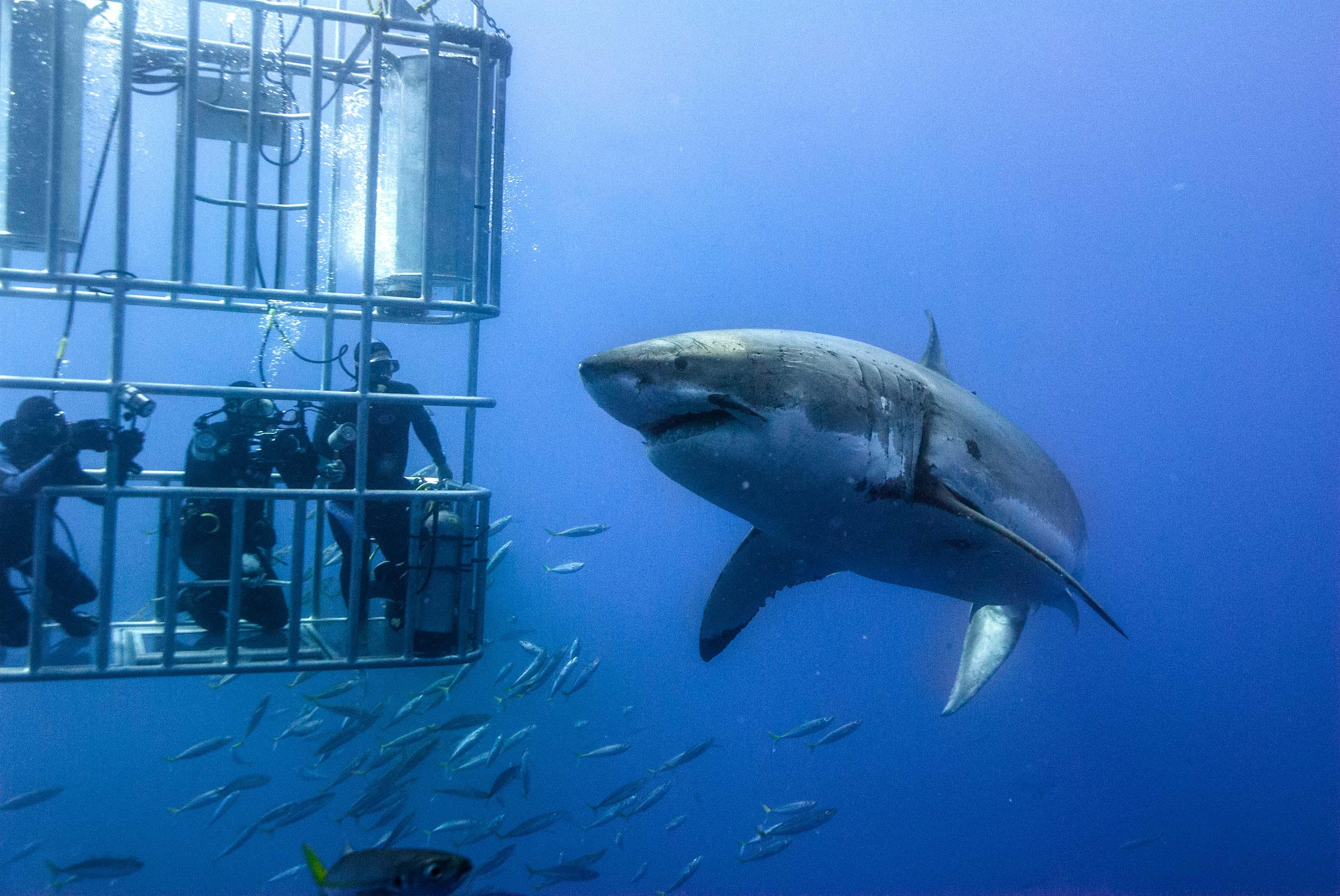 погружение с акулами в клетке фото можем более