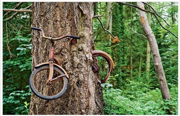 Дерево, растущее вокруг старого велосипеда.