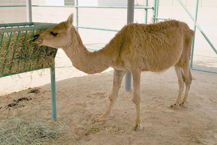 Кама (верблюд + лама)