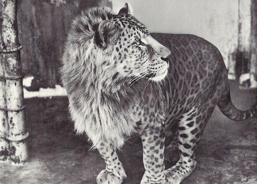 Леопон ( самец леопард + львица)