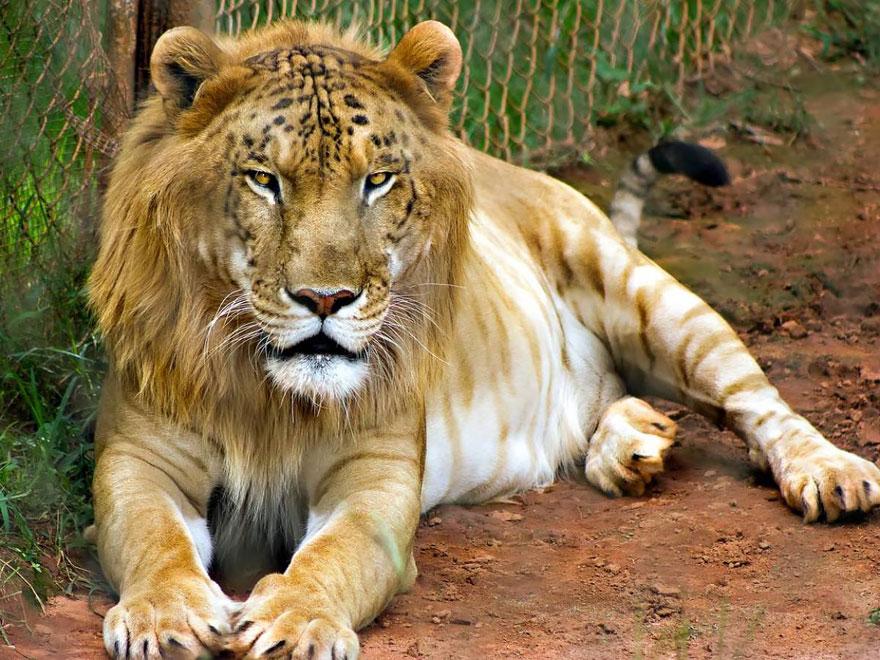 Тигролев (тигр + львица)