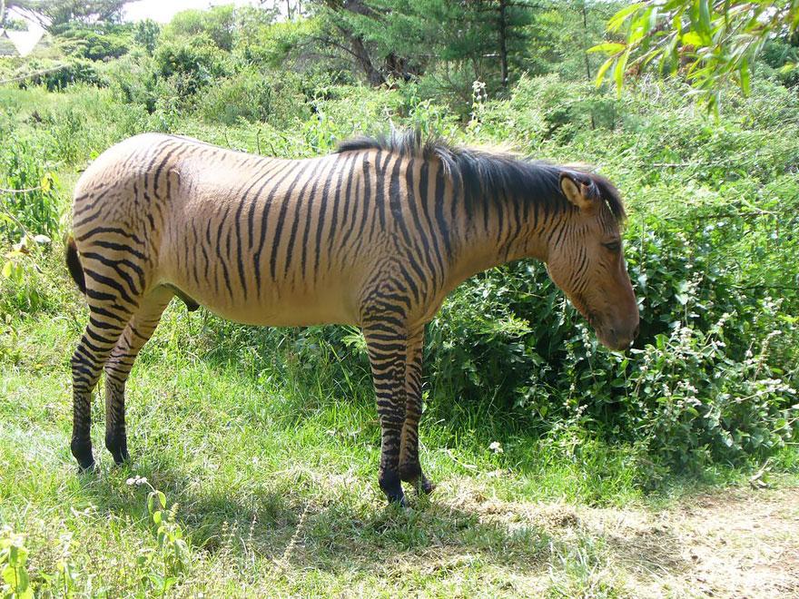 Зеброид (зебра + лошадь)