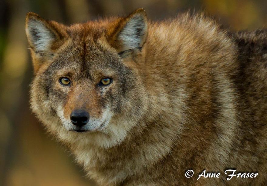 Койволк (койот + волк)
