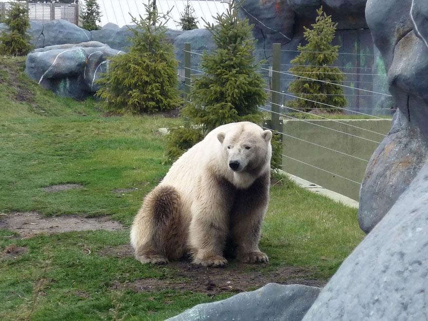 Полярный гризли (белый + бурый медведь)