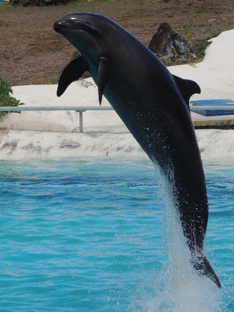 Косаткодельфин (самка дельфина + самец малой чёрной косатки)