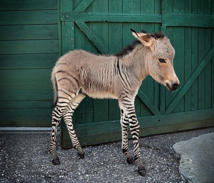 Зеброид (зебра+лошадь)