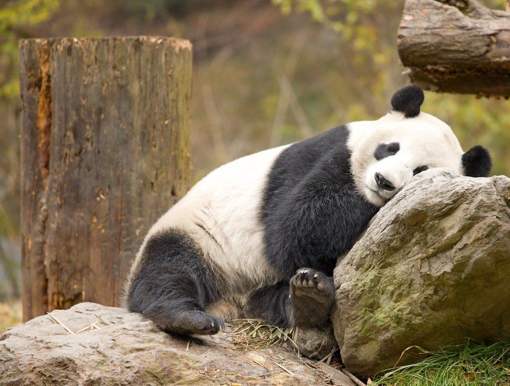 Картинки мишка панда утром