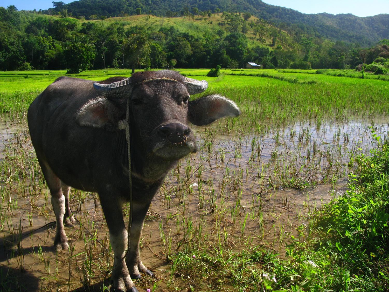 Филиппины бохол буйвол карабао