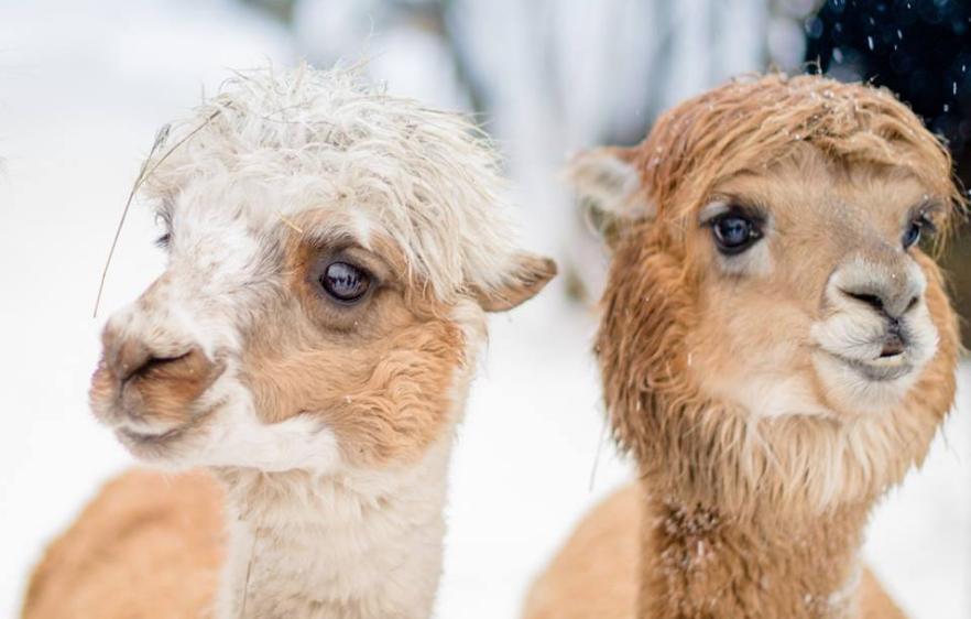 Ферма «Российские альпаки»