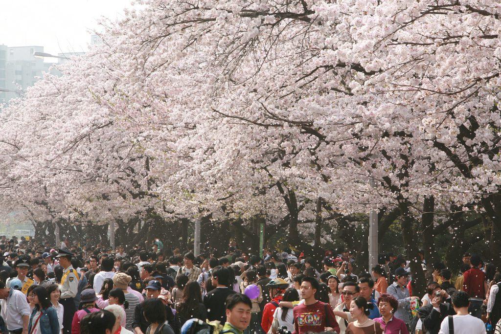вишневая аллея
