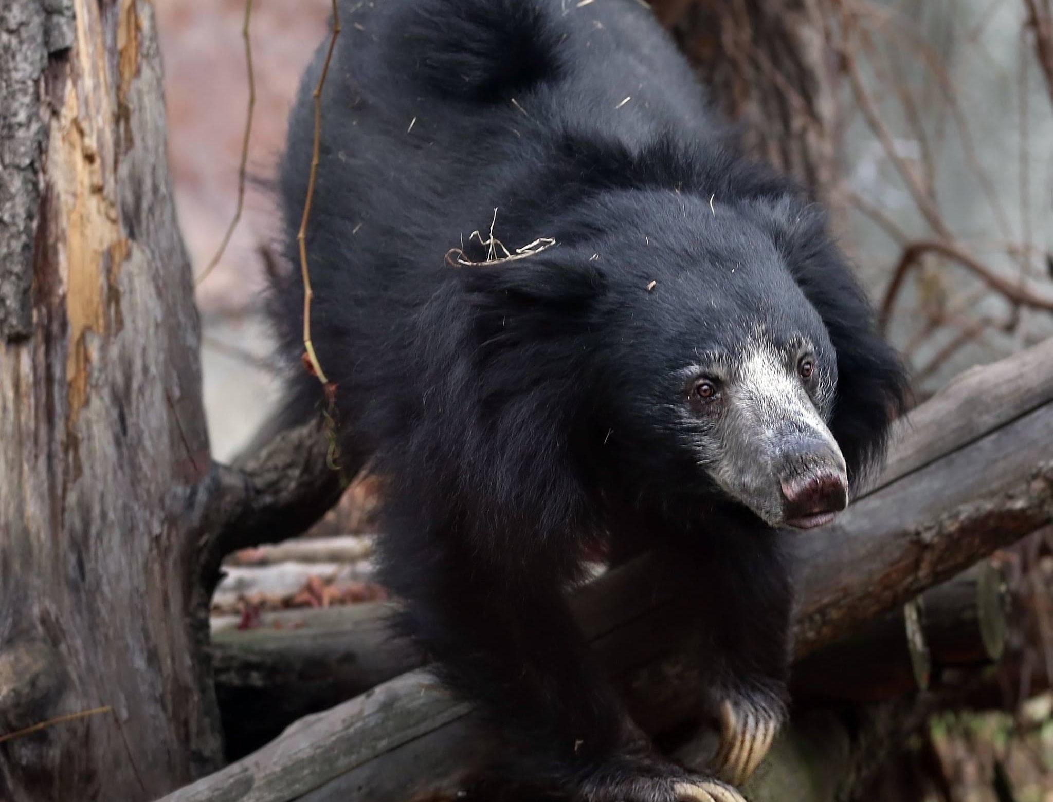 FOREO стал опекуном медведя-губача в Московском зоопарке